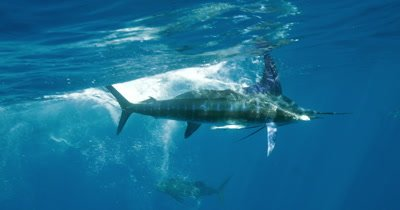 Striped Marlin and Sailfish in same frame attack sardine