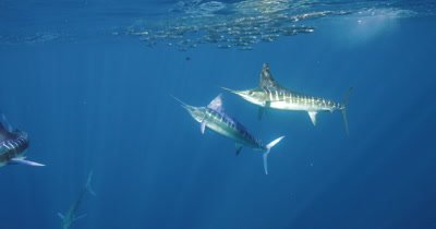 Striped Marlin attack sardine