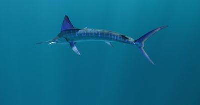 Single Striped Marlin