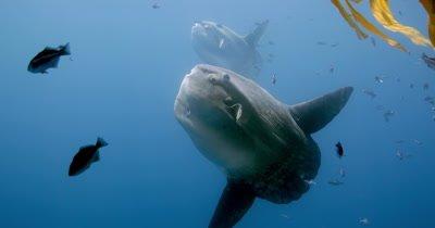 two Mola mola under kelp paddy