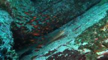 Whitetip Reef Shark Resting In A Cloud Of Cardinalfish