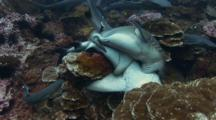 Whitetip Reef Sharks Mating