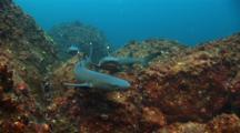 Whitetip Reef Sharks With Peacock Flounder