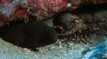 Fine Spotted Moray And Spiny Lobster Sharing Small Cave