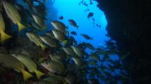 Blue And Gold Snapper In Cave