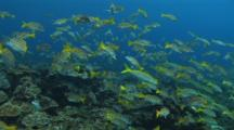 Blue And Gold Snapper On Busy Reef