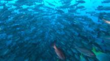 Whitetip Reef Shark Passing Through A School Of Jordan Snapper