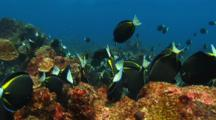 Goldrimmed Surgeonfish Feed On Reef