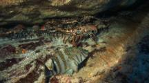 Lobster Cave With Giant Hawkfish