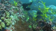 Barberfish And Burrito Grunt In Surge