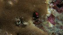 Cocos Barnacle Blenny