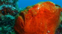 Bloody Frogfish Close Up