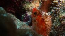 Coral Hawkfish Sleeping