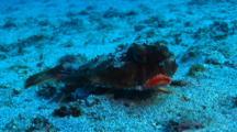 Rosy-Lipped Batfish
