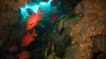 Blotcheye Soldierfish And Blue And Gold Snapper In Cave
