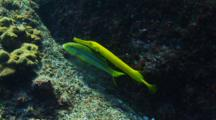 Trumpetfish shadowing Yellowfin Goatfish