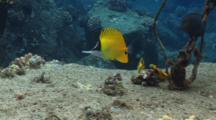 Forcepsfish On Anchor Mooring