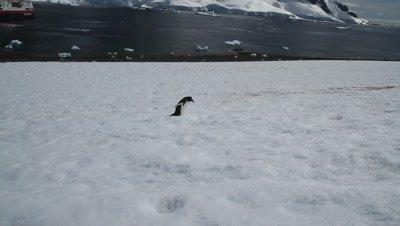 Gentoo penguin limping on snow field