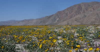 Anza-Borrego Spring Wildflowers and Landscape