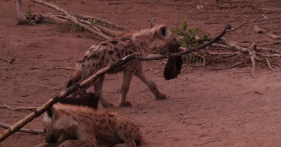 4K - Infant and Young Hyenas