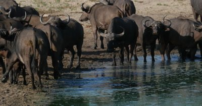 4K - Water Buffalo at Water Hole Drinking