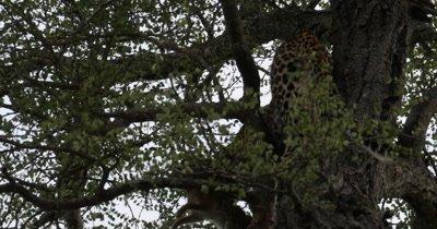 4K - Leopard Cub Feeding on Rabbit in Tree, Mother Leopard and Hyena watch from below