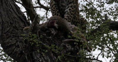4K - Leopard Cub Feeding on Rabbit in Tree, Mother Leopard and Hyena watch from below