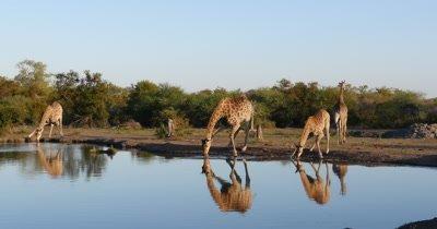 4K - Giraffe