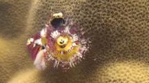 Single Christmas Tree Worm Retreats Into Small Hole In Porites Coral.