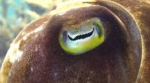 Close Up Of A Broadclub Cuttlefish Eye.