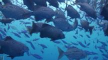 A Large School Of Snappers Feeding On Plankton In Open Blue Water.
