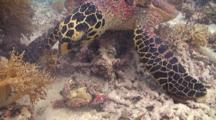 A Hawksbill Sea Turtle Feeding On Coral Reef.