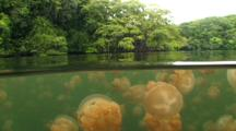 Unique! Millions Of Jellyfish Inside Jellyfish Lake, Palau. Shot Begins In A Half-Half Position With Half The Frame Being A Surface Shot Of Jungle Trees And Half Cutting Through The Calm Surface Of The Jake Exposing The Millions Of Jellyfish Below. The Camera Pans Down Into The Lake To Reveal Even More Jellyfish Grouped Close Together.