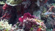 Purple Leaf Scorpion Fish Partly Camouflaged Against A Tropical Coral Reef.