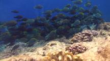 A Huge School Of Juvenile Parrotfish Feeding On Algae On A Tropical Coral Reef.