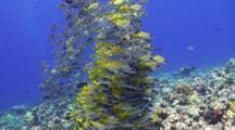A School Of Bluestripe Snapper Congregate And Huddle Together Above A Tropical Coral Reef.