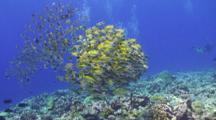 A School Of Bluestripe Snapper Congregate And Huddle Together Above A Tropical Coral Reef With Scuba Divers In The Background
