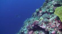 Grey Reef Sharks Hunt Just Off A Coral Reef Drop Off With Scuba Divers 'hooked In' Watching The Action