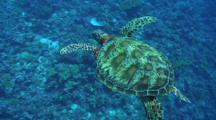 Green Sea Turtle Swims Into Frame From Above Camera And Passes Down To Reveal A Tropical Coral Reef Below. Turtle Swimming Shot From Above Through Blue Water.
