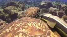 Close Up Pov Green Sea Turtle, And Large Remora Attached To Shell.