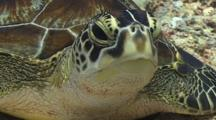 Close Up Of A Green Sea Turtles Head While It Lies On A Tropical Coral Reef