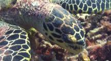 Close Up Of A Hawksbill Sea Turtle Feeding On A Tropical Coral Reef.