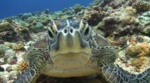 Close Up Of A Green Sea Turtle Lying On Tropical Coral Reef Staring Directly Into The Camera Frame