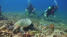 Hawksbill Sea Turtle Feeding On A Tropical Coral Reef With Scuba Divers In The Background
