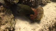 Giant Moray Eel Captures A Giant Stone Fish