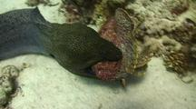 Giant Moray Eel Attacking And Eating A Large Stone Fish