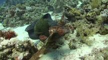 Giant Moray Eel Attacking And Eating A Large Stone Fish, Divers Watch