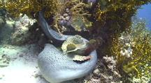 Giant Moray Eel Swallowing A Large Stone Fish It Just Caught