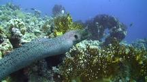 Giant Moray Eel With Large Stone Fish In Stomach, Swimming