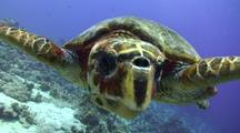 Hawksbill Turtle Swims Towards Camera And Investigates Its Reflection In Camera Lens